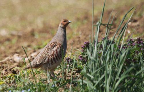Les oiseaux de nos espaces agricoles vont-ils tous disparaître ?