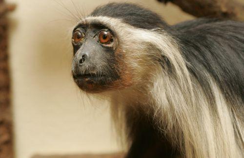 Espèces de singe